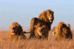 十大传奇狮王都有哪些 狮子王的主人公正是辛巴