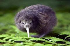 新西兰几维鸟的传说,贵为新西兰国鸟(备受保护)