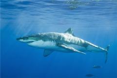 鼠白鲨曾是海洋杀手 速度快是它的杀手锏
