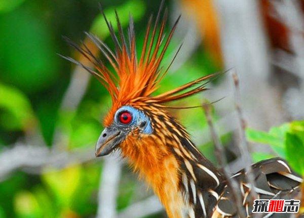 世界上最奇异的十种鸟类 第七能活90岁,第一只吃树叶为生