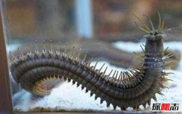 博比特虫的天敌是什么,博比特虫对人有危险吗?