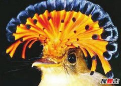 世界上最漂亮的鸟 第一长相特别最后酷似凤凰尾羽华丽