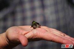 世界上最可爱美丽的鸟 蜂鸟世界最小第四头顶金黄