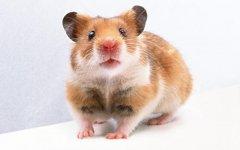 老鼠吃小孩事件怎么回事?女孩活活被老鼠咬死场面血腥