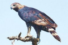 世界三大猛禽是什么?非洲冕雕轻松敲破猎物头骨