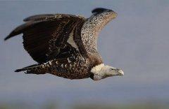 世界十大飞的最高的鸟 黑白兀鹫登顶可达一万多米