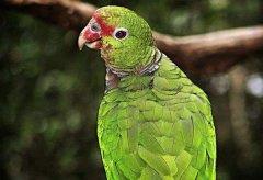 最会说话的鸟排行榜 说话能力最强的鸟有哪些