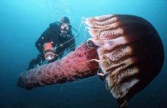 世界上身体最长的动物 北极霞水母伞帽直径超2米长度74米