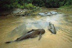世界上排名第一凶猛的鱼 可以一口吞下一个成年男子