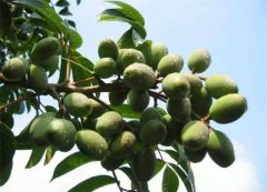 橄榄不能和什么一起吃 吃橄榄时候要注意什么