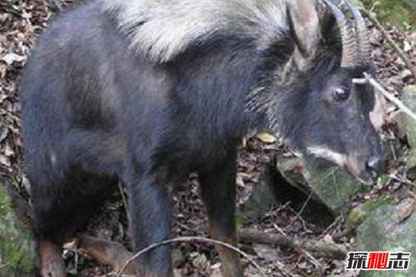 神农架最神秘怪兽:棺材兽,疑似史前生物驴头狼现世