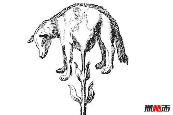 传说中的植物羊,豆荚上长出羊,究竟是动物还是植物