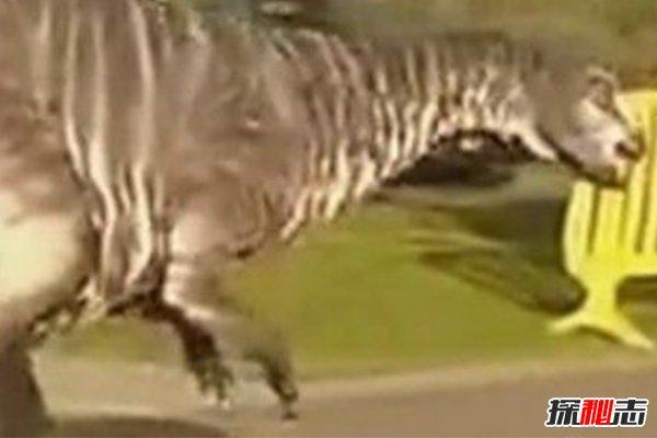 恐龙还未灭绝?新西兰村民活捉一只恐龙(原来是道具)