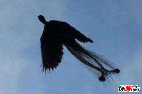 世界上最后一只凤凰,惊现黑龙江,凤凰目击事件盘点