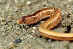 世界上寿命最长的蜥蜴:帝王蛇蜥,在博物馆中存活54年