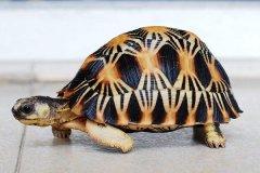 寿命最长的爬行动物:射纹龟,足足活了188岁(1777-1965年)