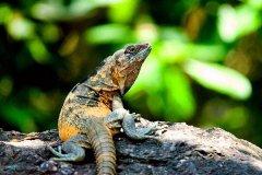 奔跑速度最快的蜥蜴:黑刺尾鬣蜥,时速高达34.9公里