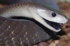 移动速度最快的蛇:黑曼巴蛇,冲刺时速高达14-20公里