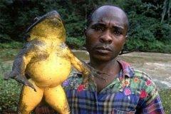 现存体型最大的蛙类:巨谐蛙,长达1米(等同3-4岁小孩)
