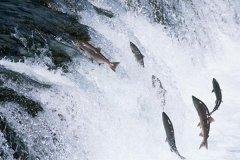 世界上跳的最高的鱼:大西洋鲑,洄游时跳上3.7米的瀑布