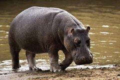 体重最重的偶蹄目动物:河马,接近亚洲象体重(可达4吨)