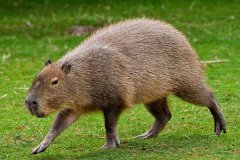 现存最大的啮齿目:水豚,相当于成年猫的10倍(长1.3米)(图)