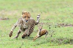 陆地上奔跑速度最快的哺乳动物:猎豹,最高时速达130公里