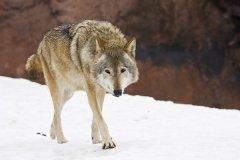 现存最大的犬科动物:灰狼,身长2.5米(最重96.2公斤)