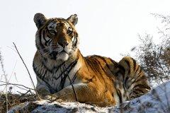 最大的猫科动物:东北虎,最长可达3.5米/重384公斤