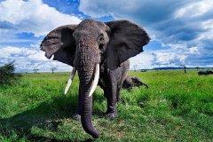 现存陆地上最大的哺乳动物:非洲象(最高达4米/重10吨)