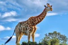 现存最高的陆地哺乳动物:长劲鹿,脖子占一半(最高达8米)