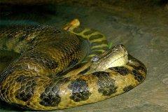 体型最大的蛇类:绿水蚺,吞下2英尺凯门鳄(最长8.45米)(图)