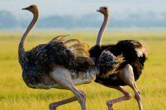 现存体重最重的鸟类:鸵鸟,最重156.8公斤(一颗蛋近3斤)(图)