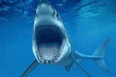 体型最大的软骨鱼:巨齿鲨,以鲸鱼为主食(长20米/重103.4吨)