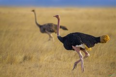 现存体型最大的鸟类:鸵鸟,一脚灭狮豹(体长近3米)