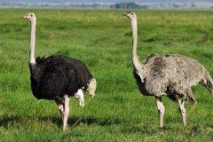现存最高的鸟类:鸵鸟,脖子和腿占身体的3/4(最高近3米)