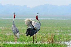 世界上现存最高的飞行鸟类:赤颈鹤,堪比姚明(最高达2米)