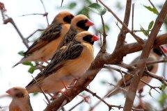 世界上数量最多的鸟类:红嘴奎利亚雀,非洲多达100亿只