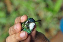世界上体型最小的鸟:吸蜜蜂鸟,相当于半根手指长(仅5cm)