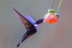 世界上最轻的鸟类:吸蜜蜂鸟,比一元硬币还轻(仅1.6克)