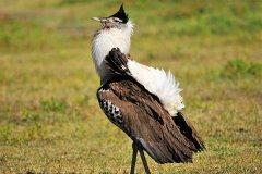 现存体重最重的飞行鸟类:灰颈鹭鸨,等同3岁小孩(重20公斤)