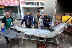 最大的剑鱼多少斤?海中捕获最大剑鱼,破纪录达650公斤