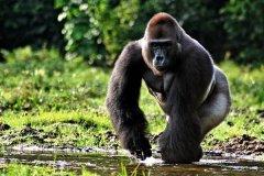 大猩猩最大多少斤?东部低地大猩猩最重可达249.5公斤