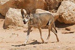 世界上体型最小的狼:阿拉伯狼,17天不吃东西(仅18公斤)