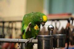 世界上寿命最长的鸟类:亚马逊鹦鹉,存活一个世纪(104岁)