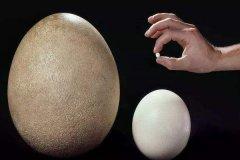 世界上最小的鸟蛋:吸蜜蜂鸟蛋,仅一个咖啡豆大小(6毫米)