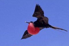 世界上飞得最快的鸟:军舰鸟,速度堪比弓箭(时速418公里)
