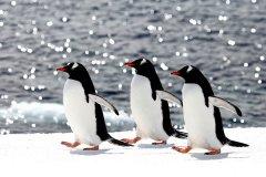 世界上游的最快的鸟:巴布亚企鹅,下潜100米仅需1.5分钟