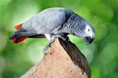 世界上学话最多的鸟:非洲灰鹦鹉,可学会800个单词