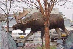 最大的驼鹿有多大?相当于一辆小汽车(重1吨/长3米)
